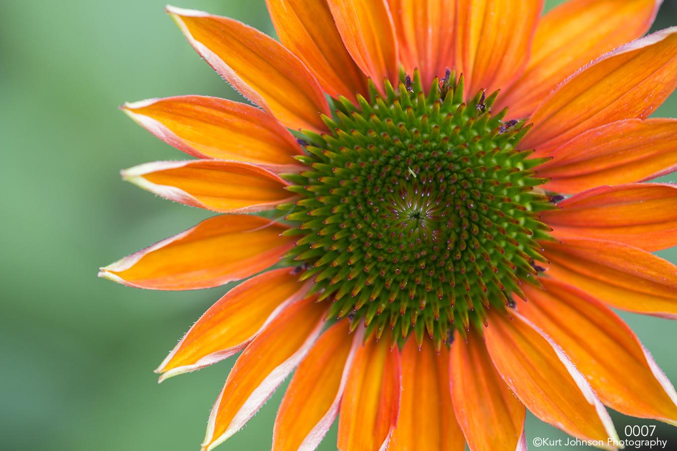 orange flower closeup petals cone
