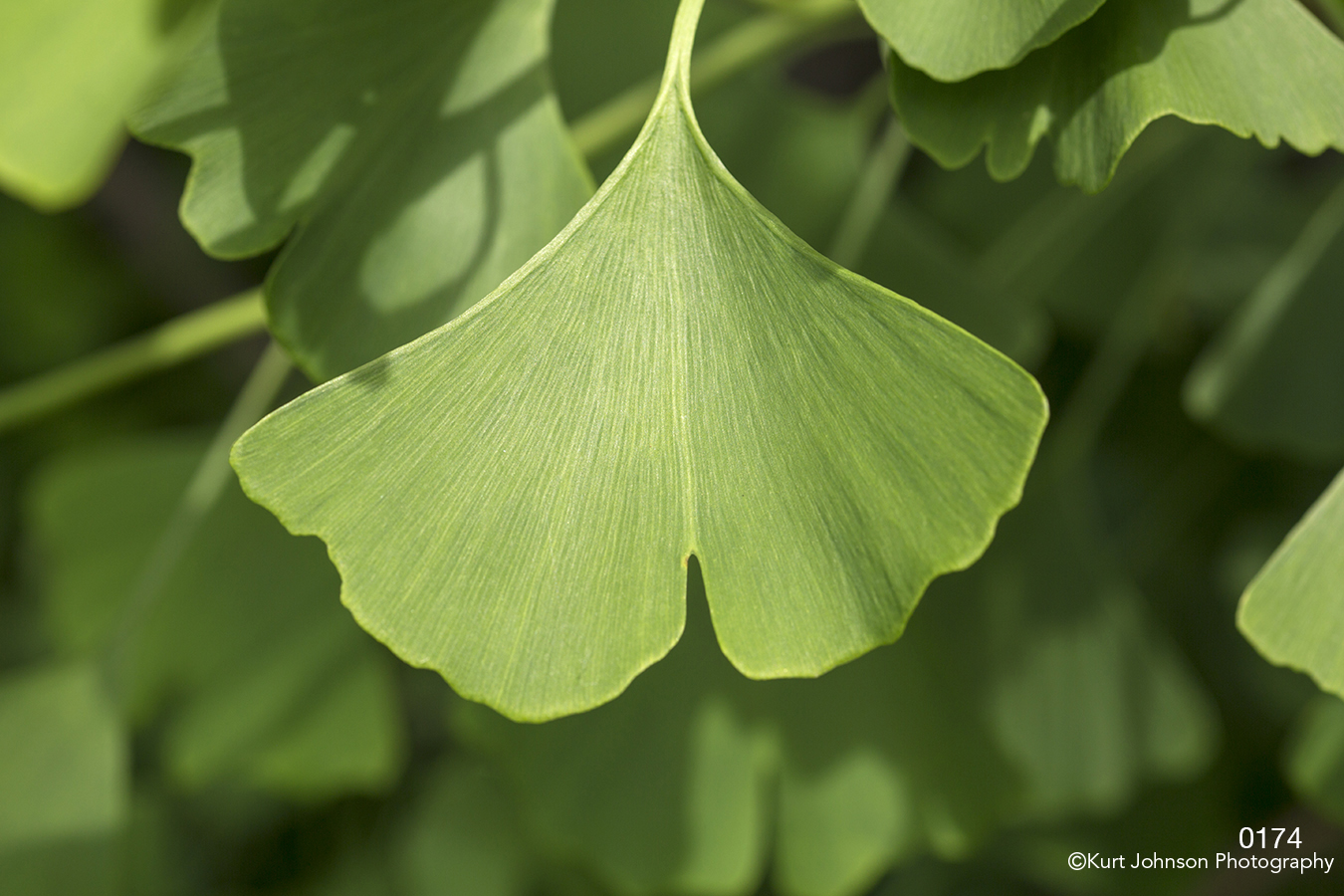 ginkgo leaves green leaf texture lines