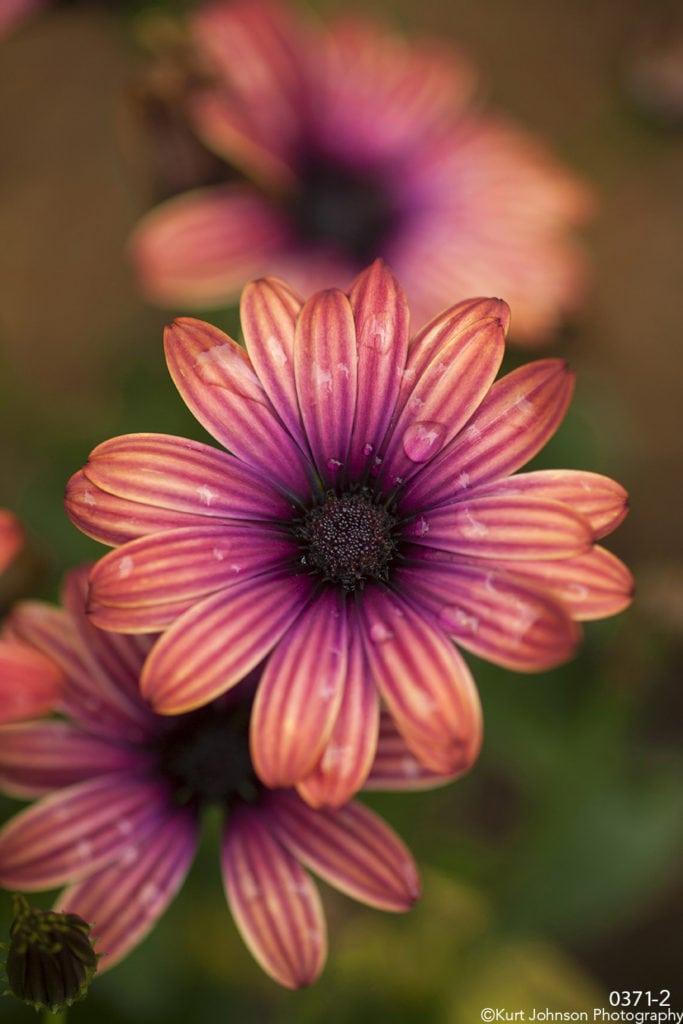 purple pink flower raindrops