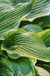 Hostas green raindrops lines texture