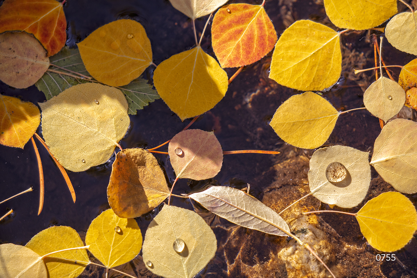 Yellow leaves closeup birch fall