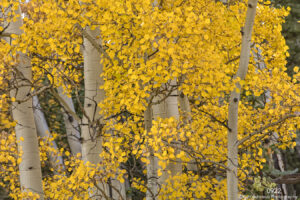 birch trees fall yellow leaves trunks