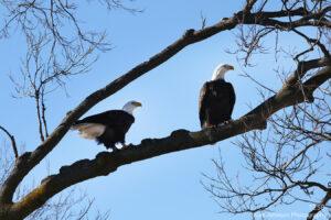 wildlife birds eagles
