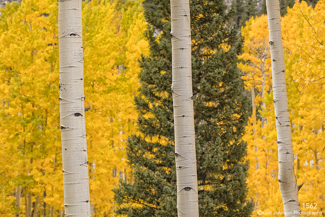 birch trees trunks pine fall yellow