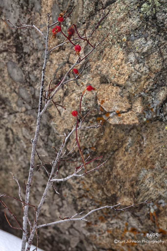 red berries snow texture rock branch