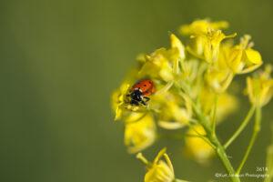 yellow flower ladybug green