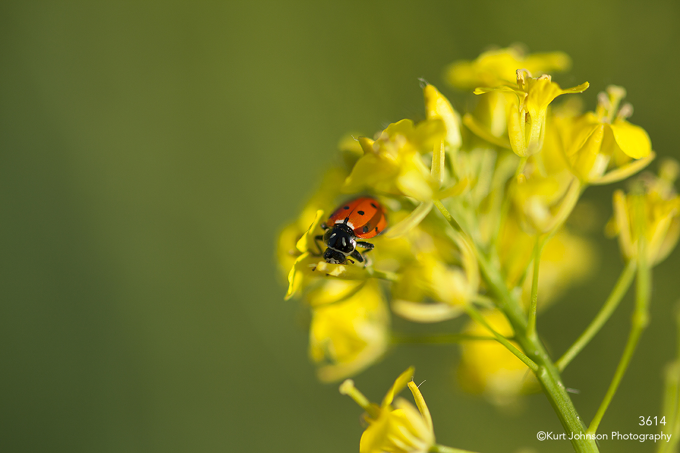 yellow flower ladybug green