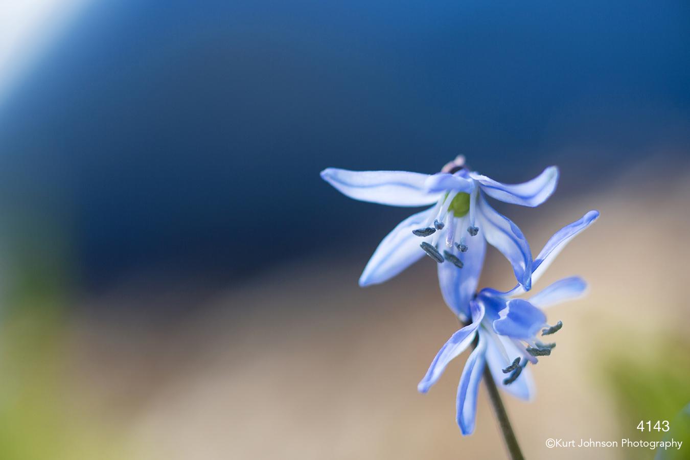 Scilla flower blue flowers
