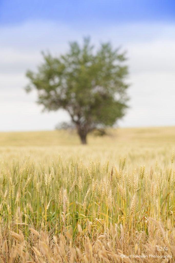 landscape grain fields tree earthtones