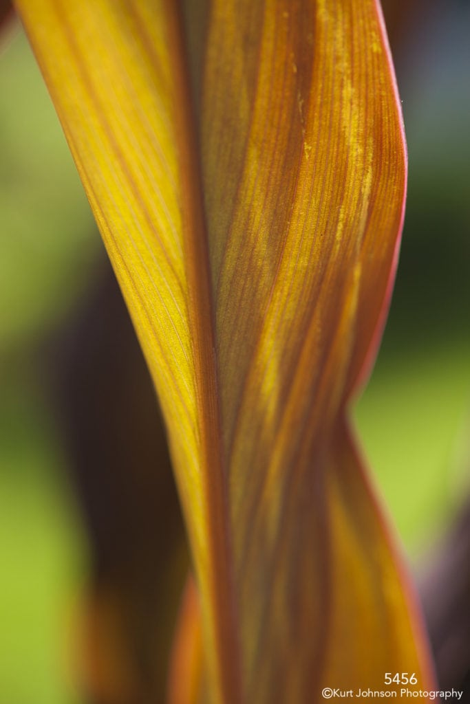 orange canna closeup texture lines leaf