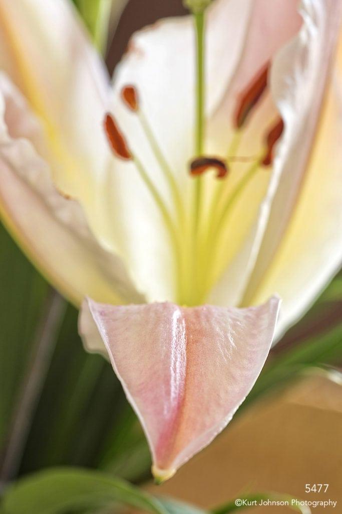 pink lily flower petal