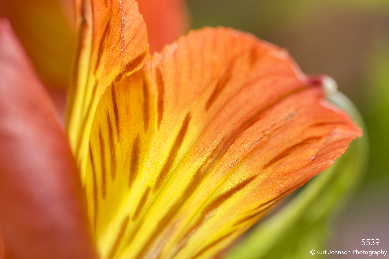 Alstroemeria orange flower petal closeup