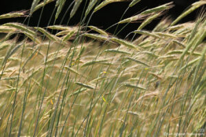 green wheat blowing grasses