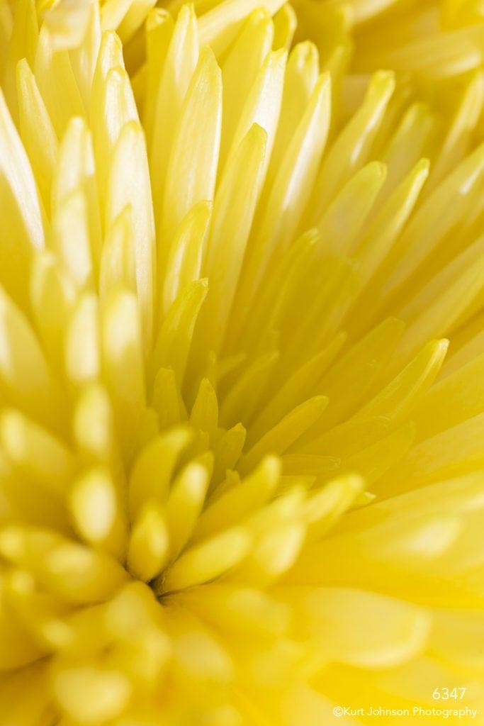 yellow closeup texture spider mum