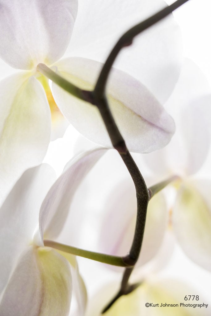 white orchid stem petals