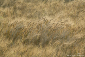 wheat gold blowing landscape grasses earthtone