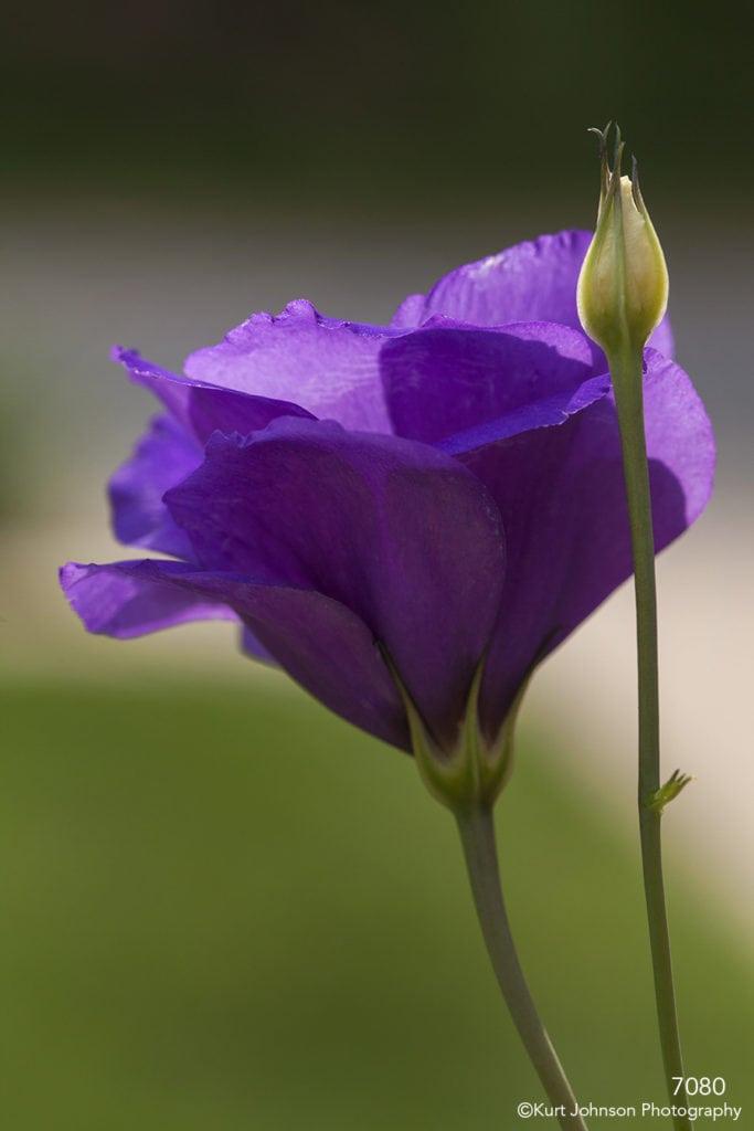 purple flower Prairie gentian bud