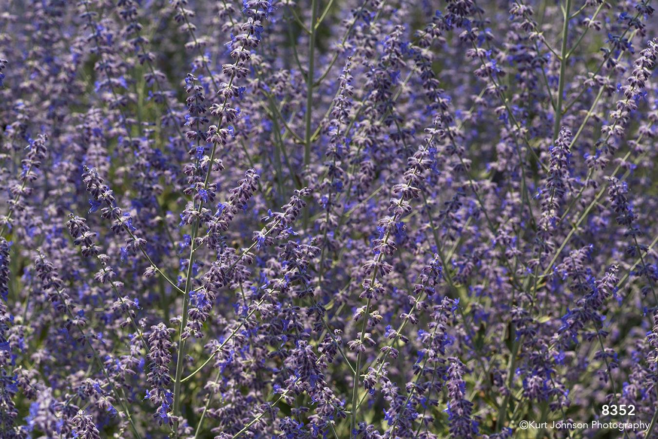 purple flower lavender bush