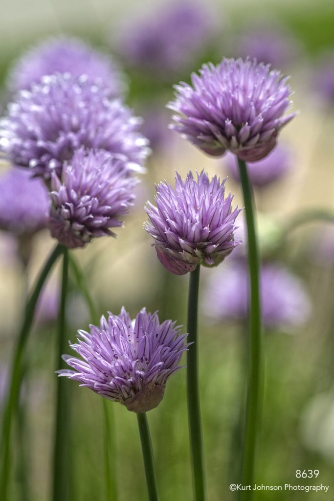 chive purple flower flowers stems
