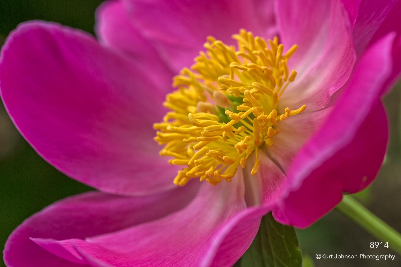 pink peony flower close up