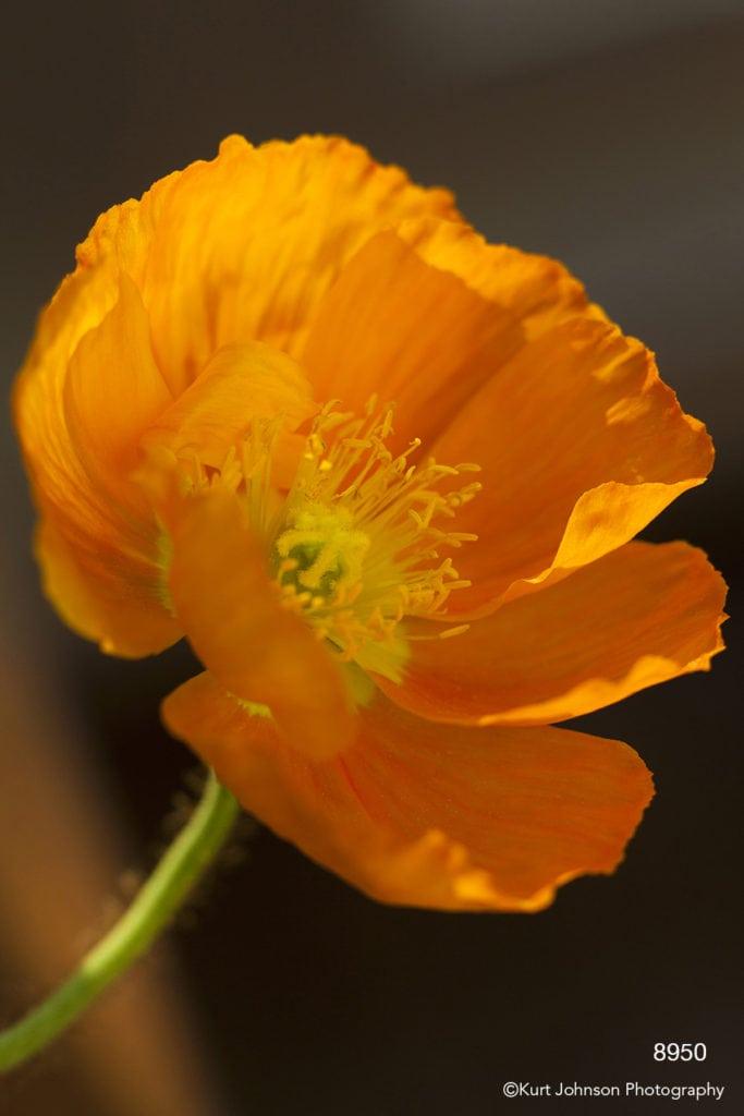 orange peony flower