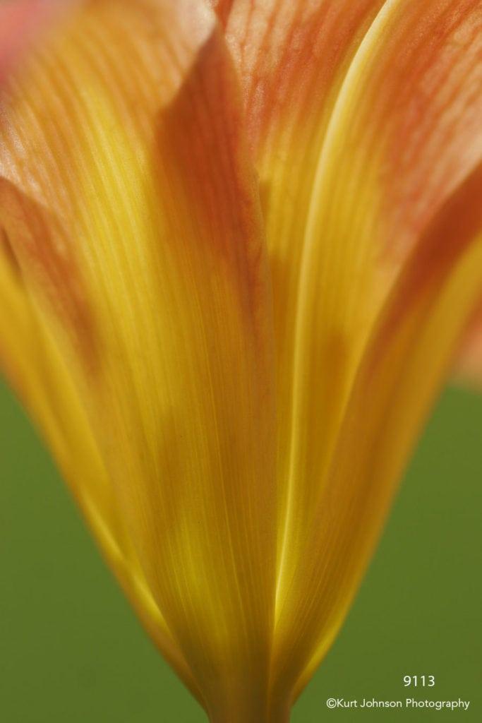 orange lily lines