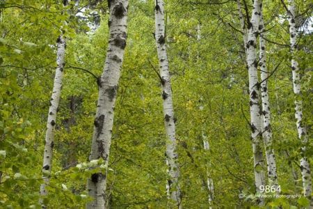 green birch trunks landscape forest leaves