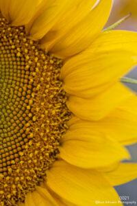 flower yellow sunflower detail texture close up