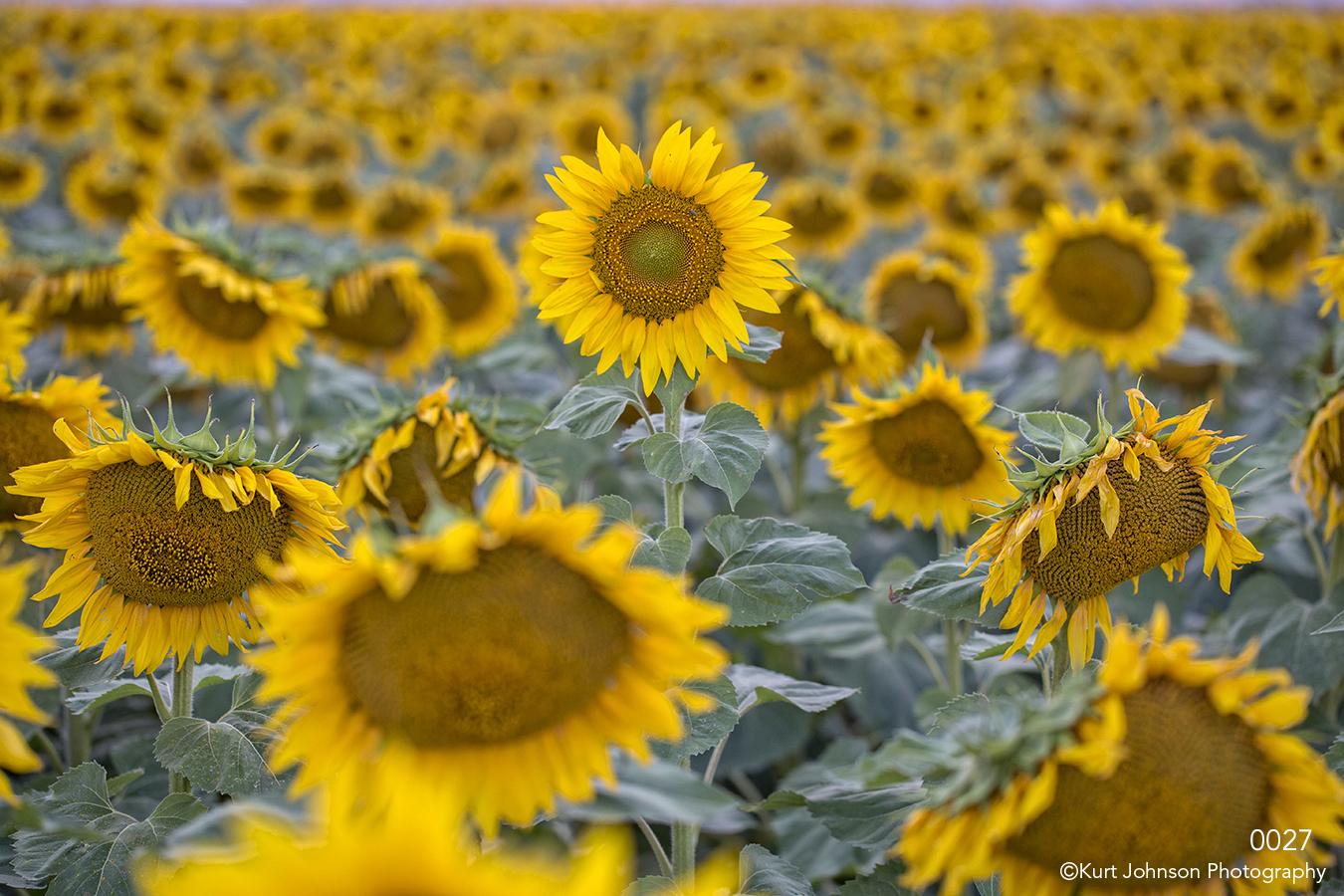 flowers sunflowers field yellow