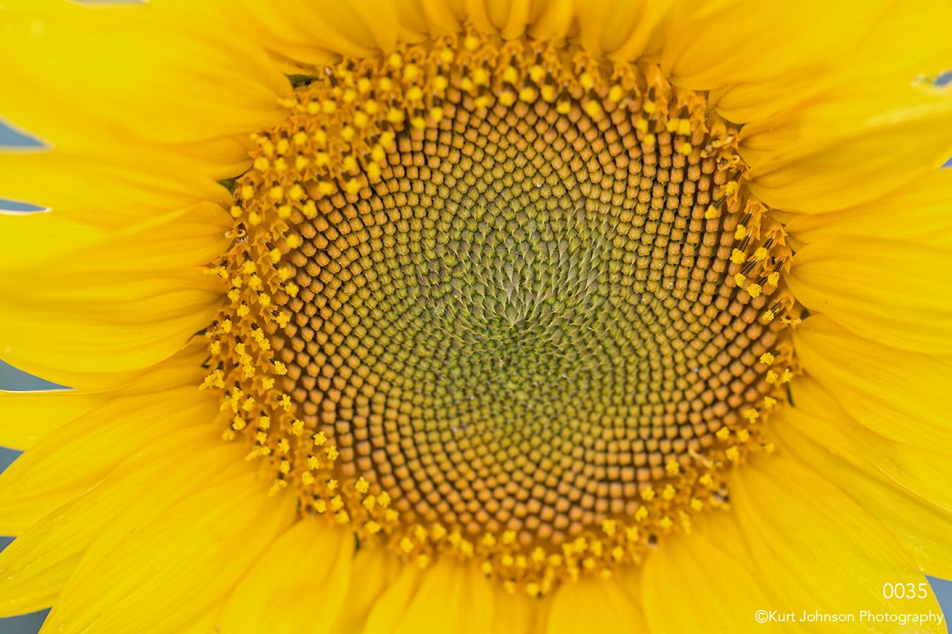 flower yellow sunflower close up detail texture