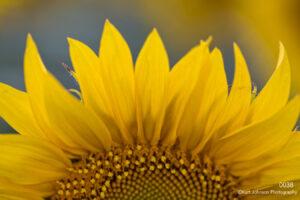flower yellow sunflower close up detail texture petals
