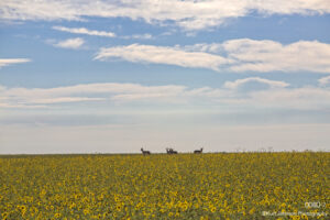landscape flowers sunflowers wildlife deer clouds midwest