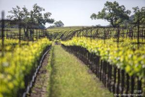 landscape green grasses winery vines california