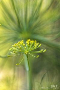 flower close up detail texture green yellow dill