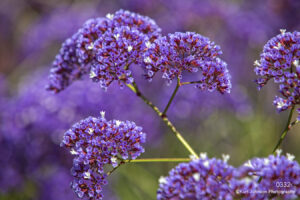flowers purple blooming branch