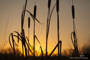 grasses cattails sunset yellow gold light