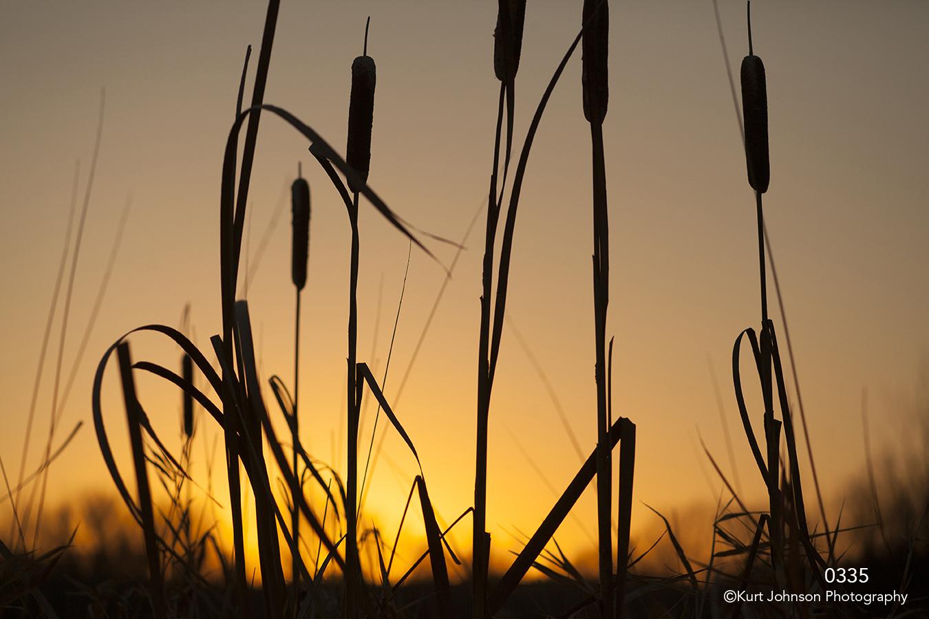 grasses cattails sunset yellow gold light