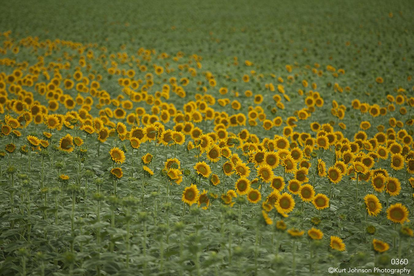 landscape flowers sunflowers green yellow field