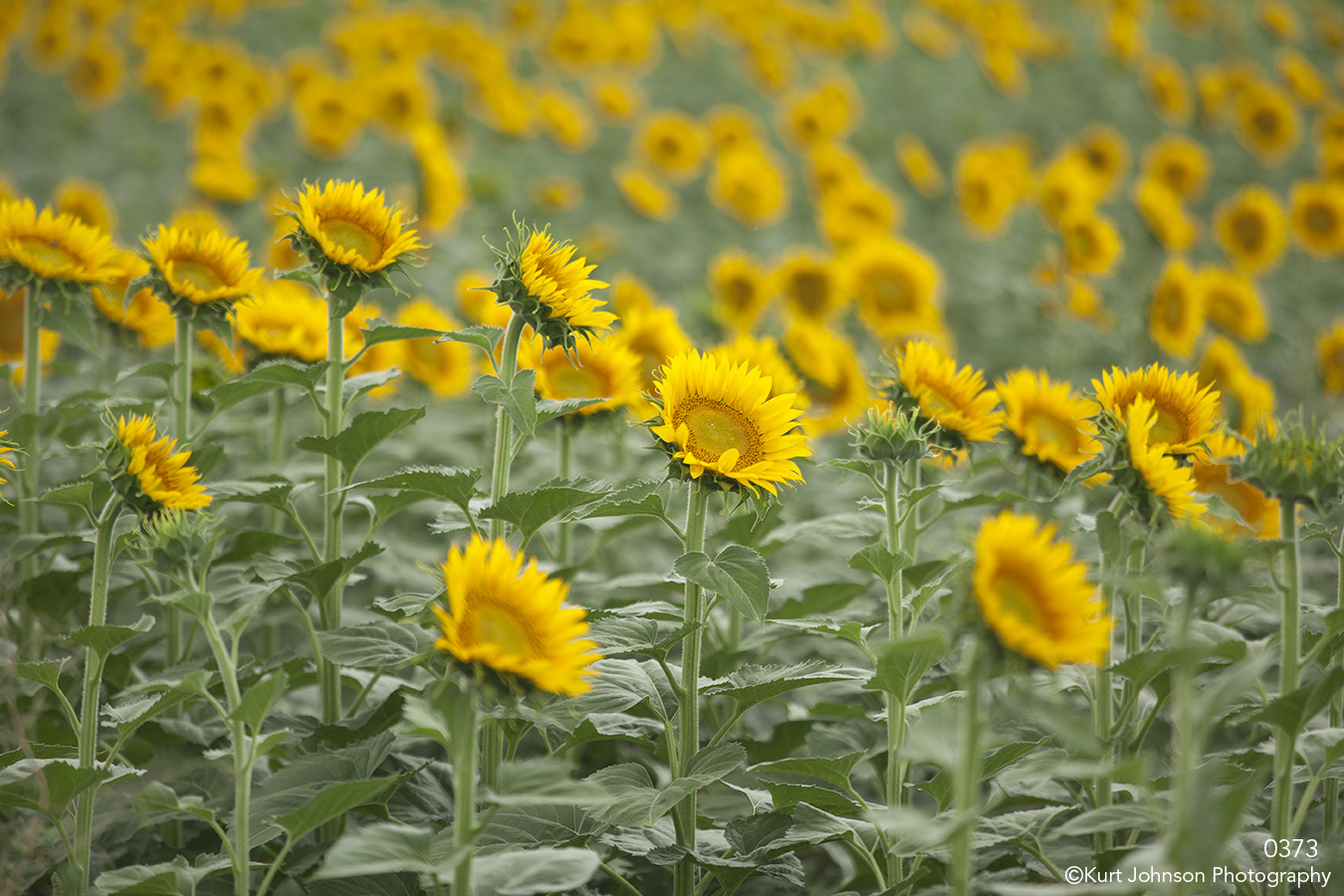 flowers landscape sunflowers yellow green field