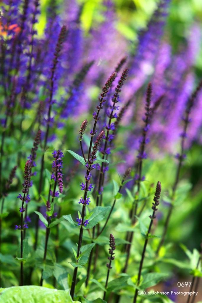 flowers purple green leaves