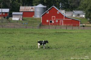 landscape barn rural wildlife cow farm green grasses