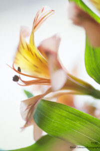 flower orange yellow leaves green lily