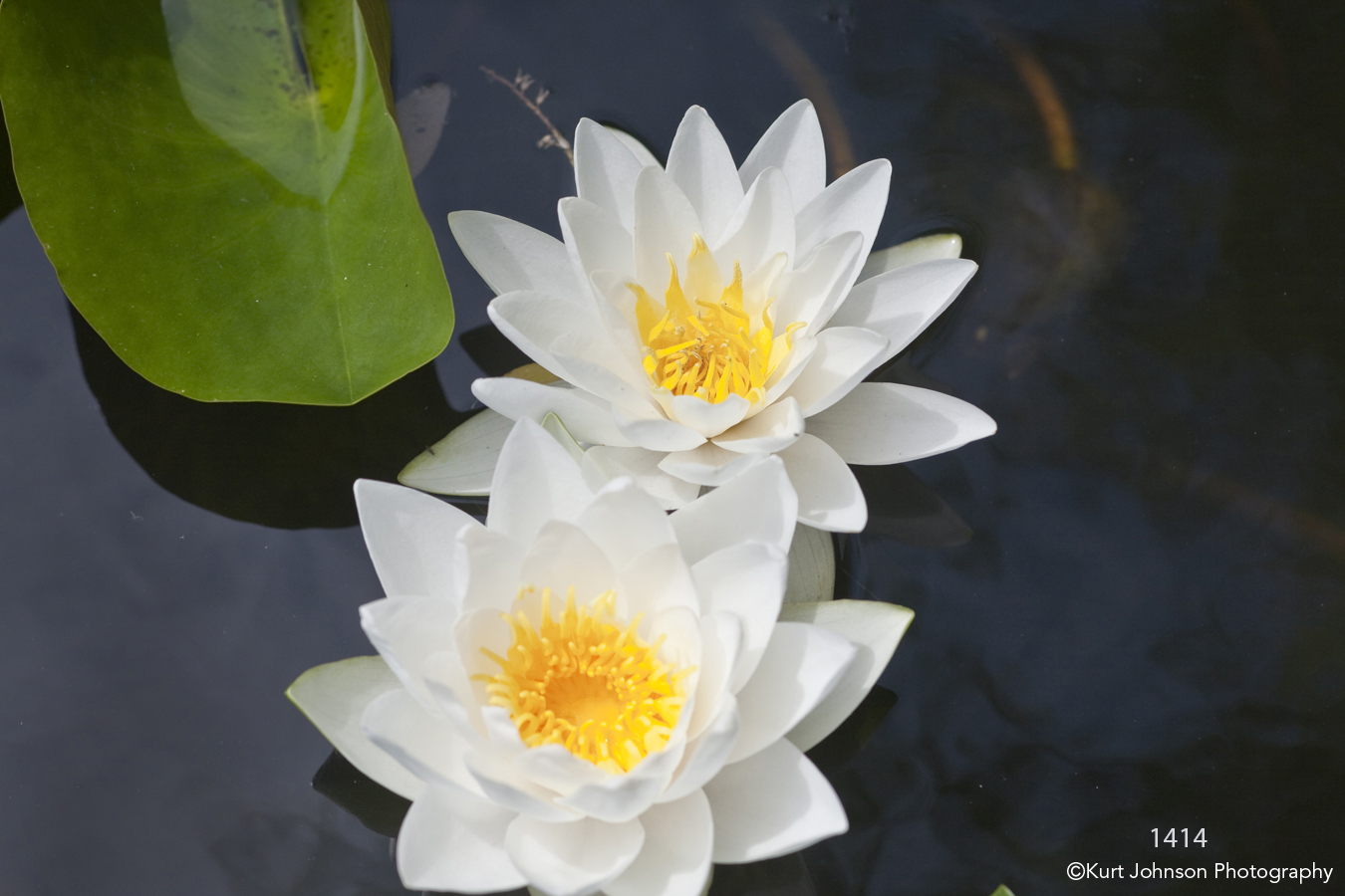 flower water lily white green