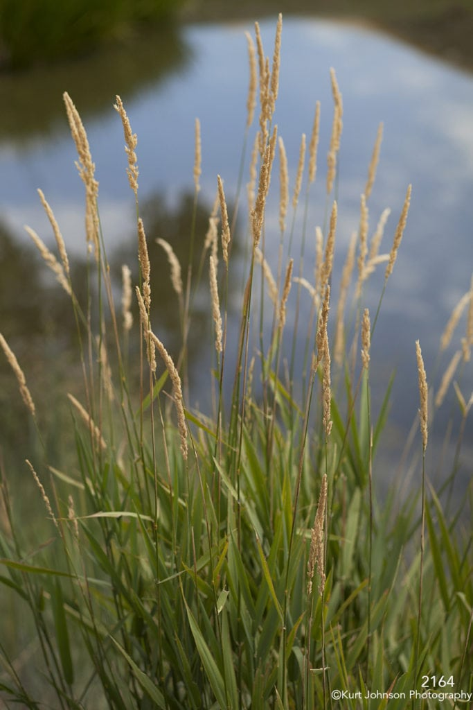 waterscape grasses water green