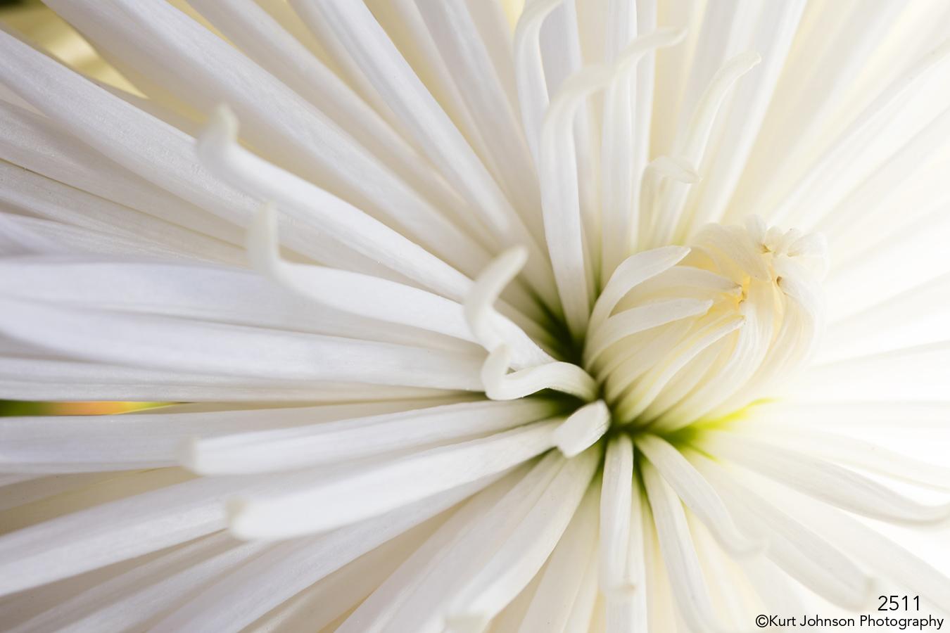 flower white texture close up petals details