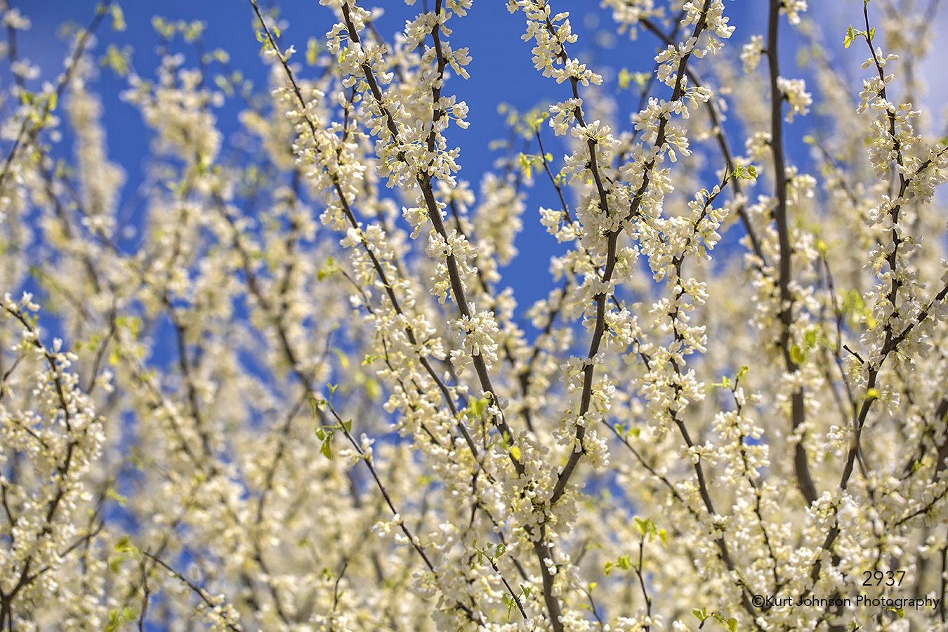 flowers white blooming buds tree branches