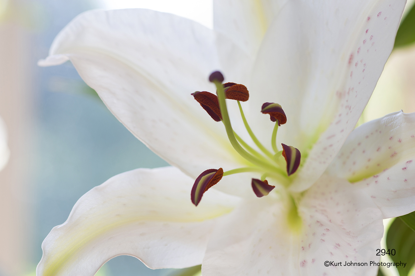 flower white lily close up details