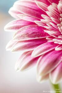 flower petals pink close up detail texture