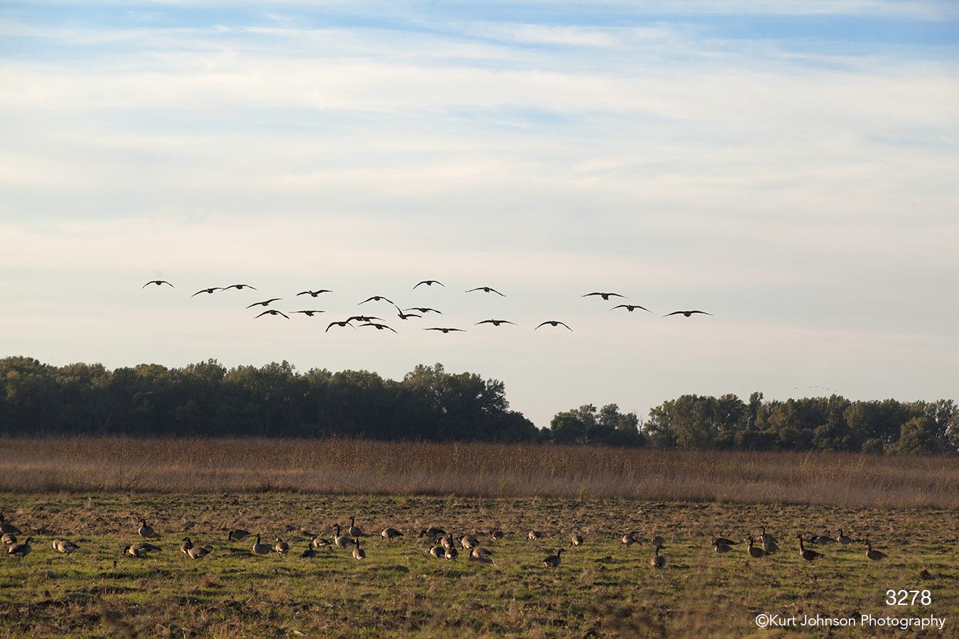 wildlife landscape geese midwest field