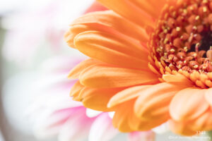 flower orange close up details petals daisy abstract